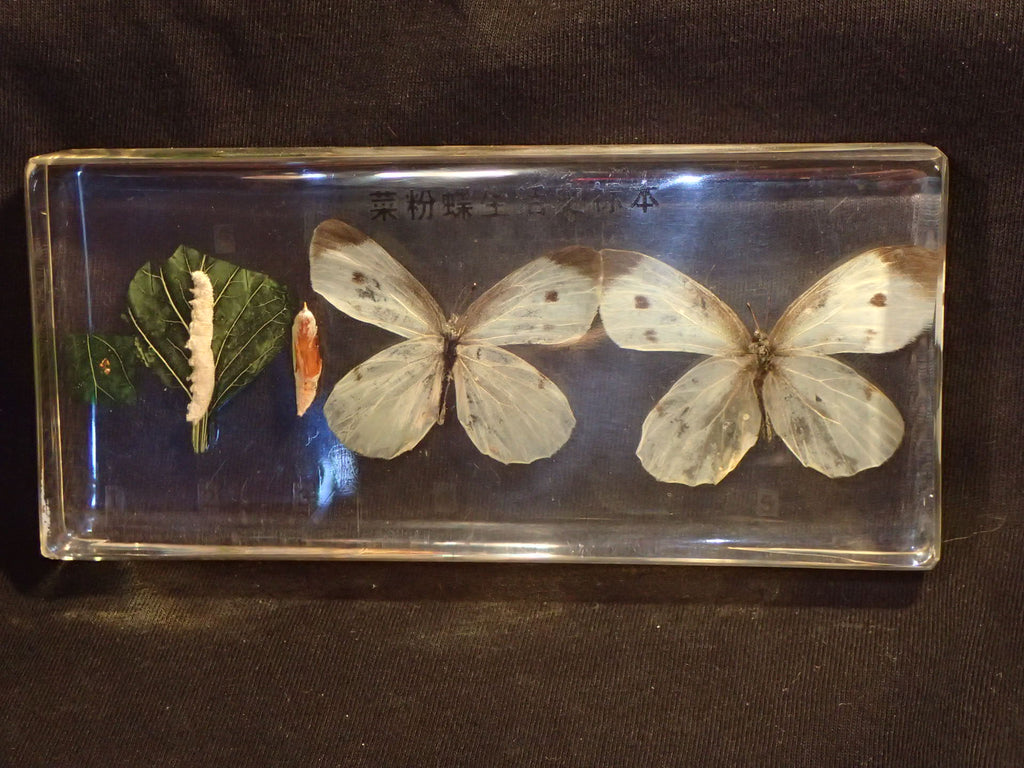 Paper Weight - Butterfly Life Cycle
