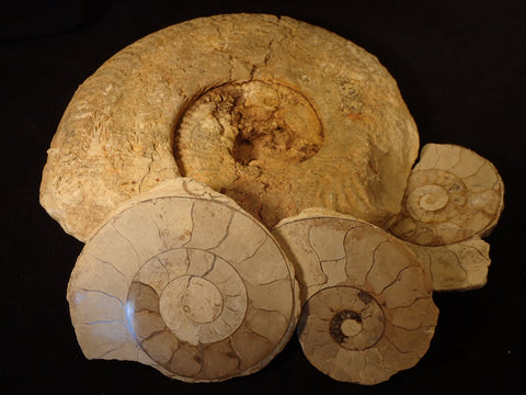 Ilminster Ammonite