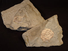 Pearly Ammonite, 1-2 Spec. In Rock