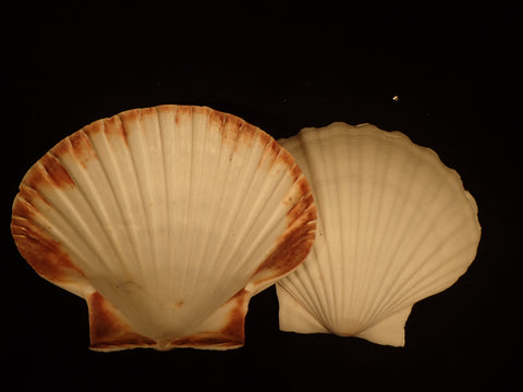 Giant Baking Scallop (Deep Half)