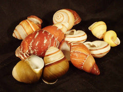 Mixed Land Snails
