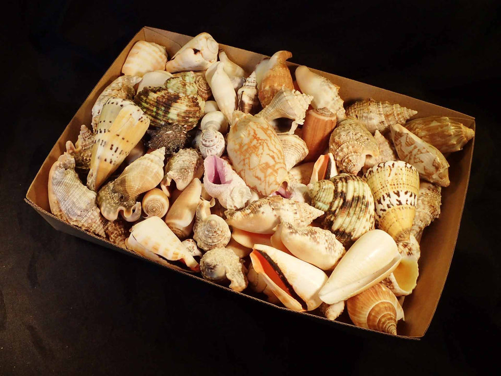 Mixed Shells By The Kilo Philippines