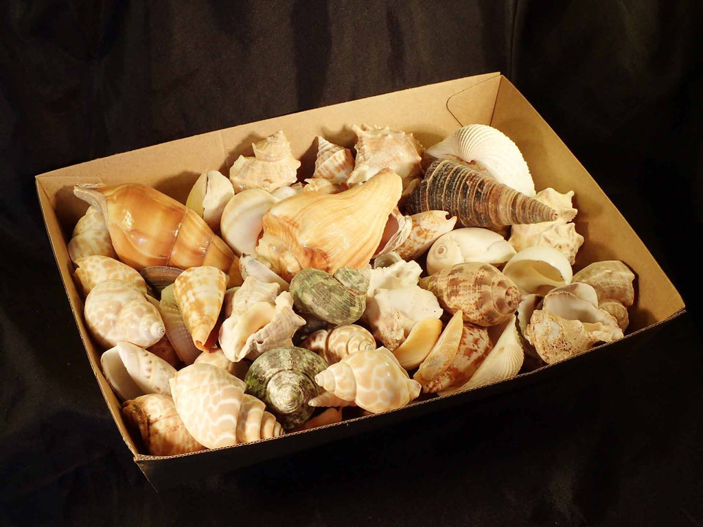 Mixed Shells By The Kilo India