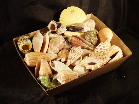 Mixed Shells By The Kilo Medium Size