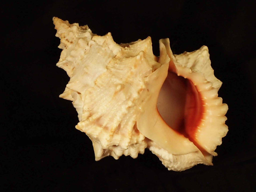 Red-Mouthed Frog Shell