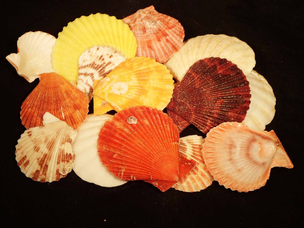 Scallop Shells For Craft By Kilo