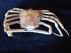 Crabs Preserved