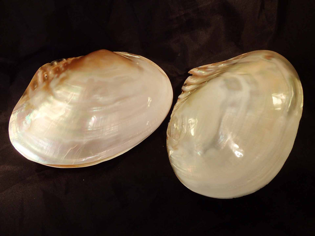 Pearlized Freshwater Pearl Shell