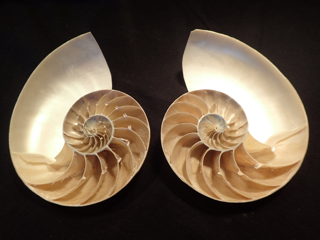 Nautilus Sliced in Half