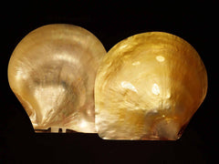 Pearlized Golden Pearl Oyster