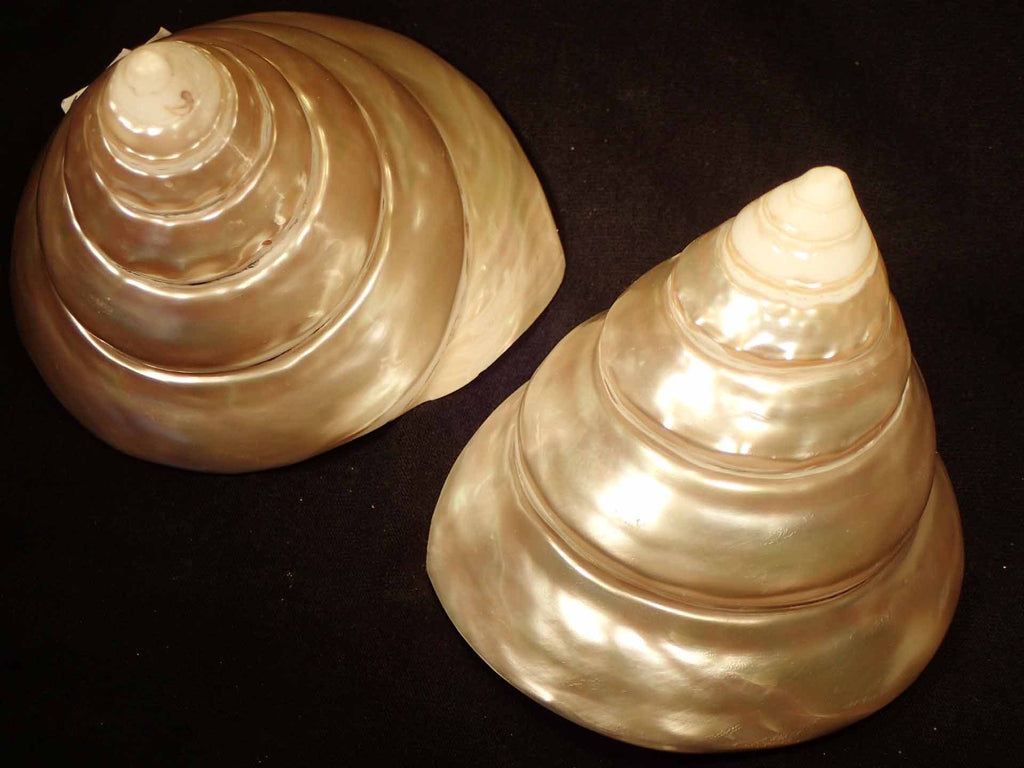 Pearlized Button Trochus Shell (Polished)
