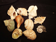 Hermit Crab Shells - Natural