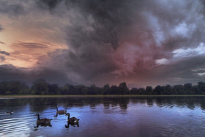 Sunnrise Swans, Round Pond, Hyde Park London UK - Travel wall art prints by Edwin Datoc Gallery