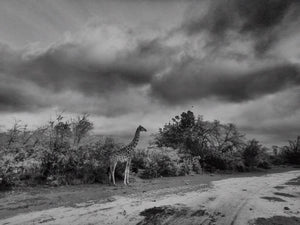 Lone Giraffe, Inverdoorn Game Reserve, South Africa - Travel wall art prints by Edwin Datoc Gallery
