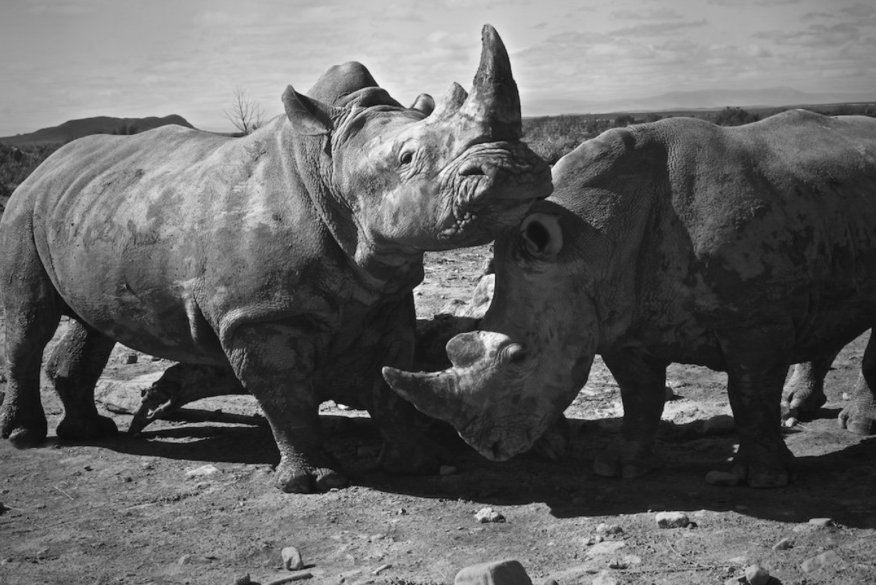 Rhinos, Western Cape, South Africa - Travel wall art prints by Edwin Datoc Gallery
