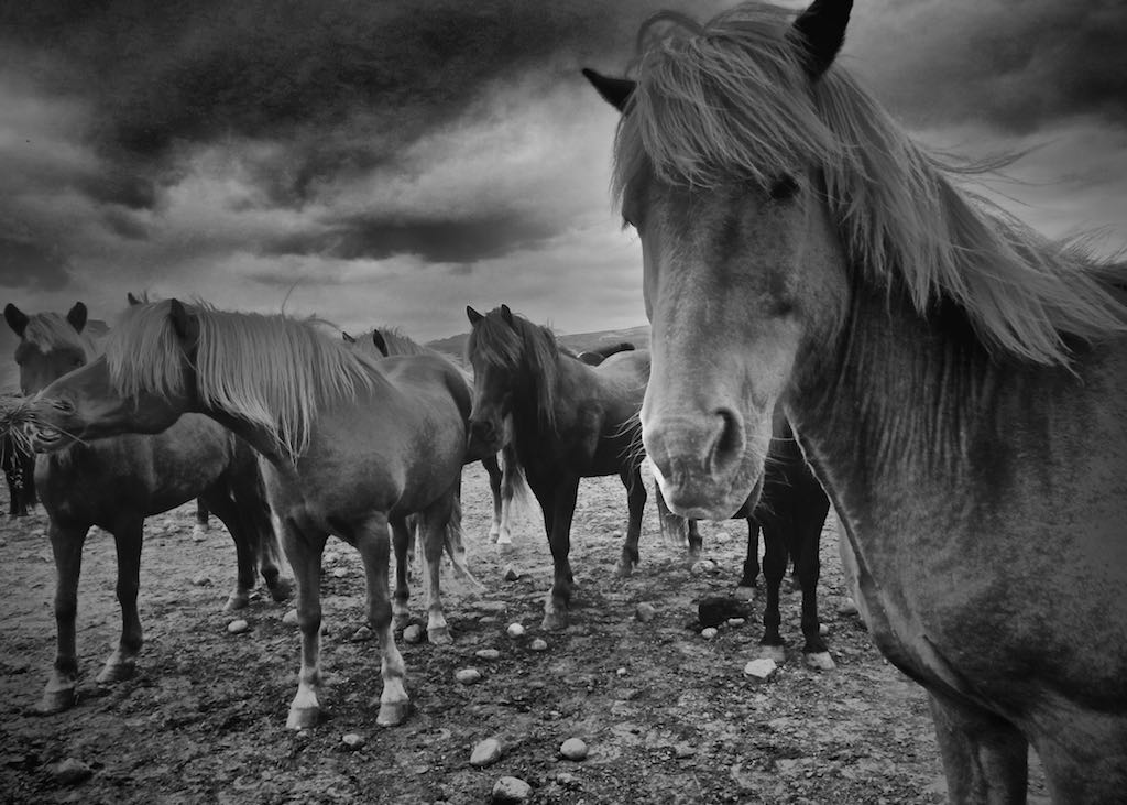 Icelandic Horses 2/6, Reykjavik Iceland - Travel wall art prints by Edwin Datoc Gallery
