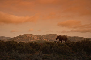 Lone Elephant, South Africa - Travel wall art prints by Edwin Datoc Gallery