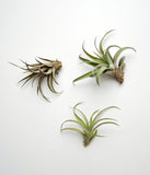 Tillandsia Capitata Peach Air Plant