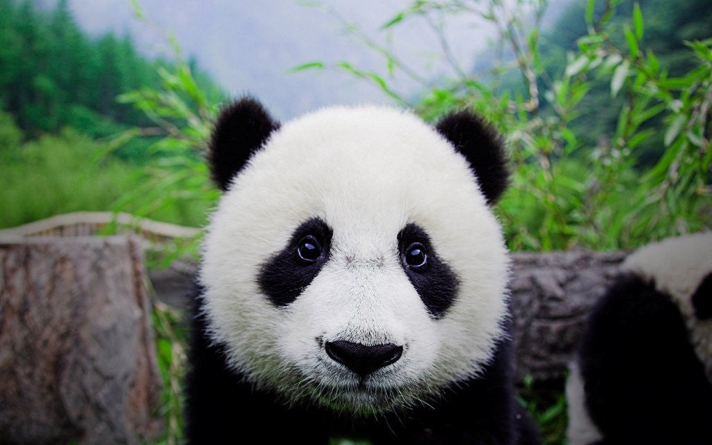 Where to find Giant Panda in the world ?