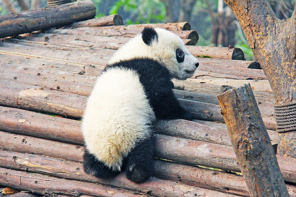 Baby panda will be giant.