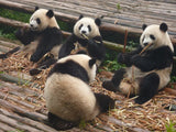 The interesting facts about Giant Panda.