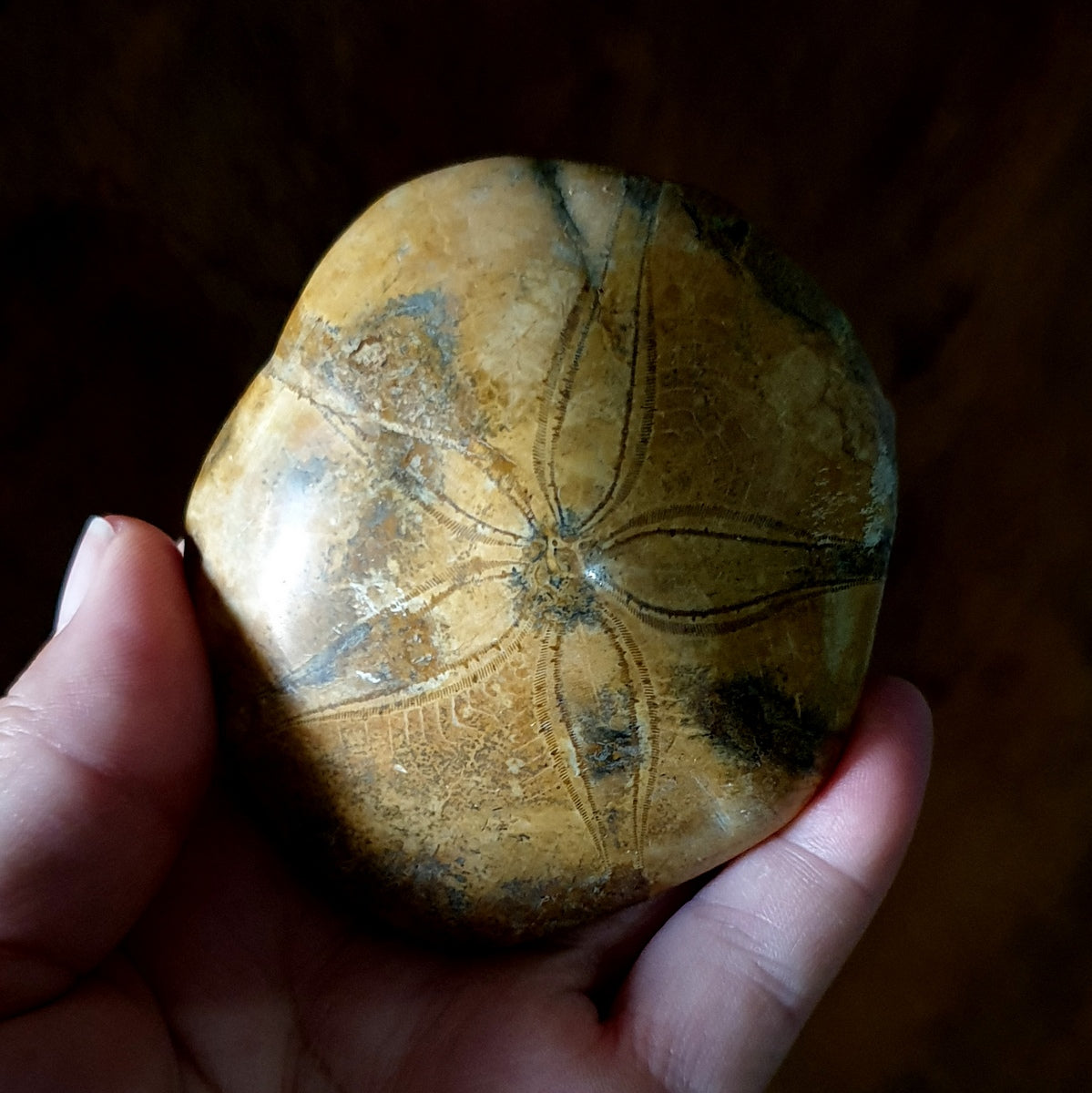 Echinoid Pansy Fossil Sand Dollar - Shop Now at Illiom Crystals - Afterpay Available