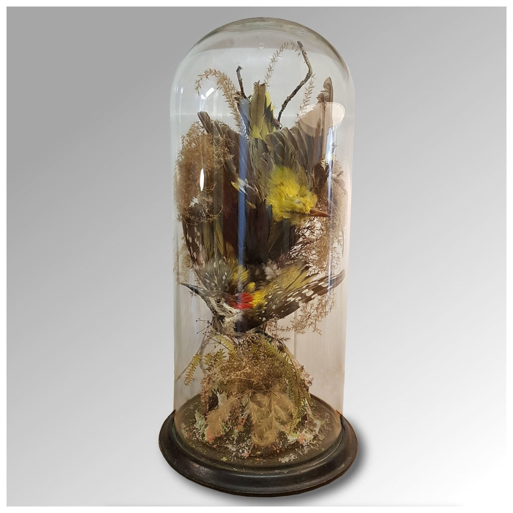 Miscellaneous - Taxidermy Dome Of Two Exotic Birds