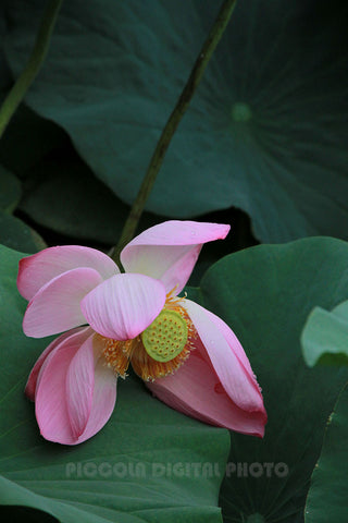 Printable Digital Photo Download,Lotus
