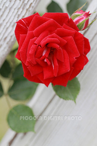 Printable Digital Photo Download, Rose