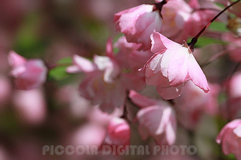 Printable Digital Photo Download,Cherry Blossom