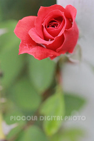 Printable Digital Photo Download,Flower,Rose