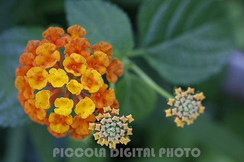 printable digital photo,download,flower