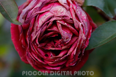 printable digital photo,download,flower,rose