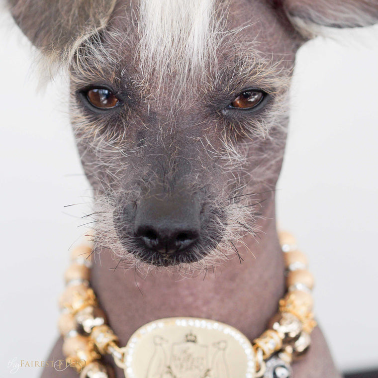 Peruvian-Inca-Orchid-dog-Stella-von-diamondpants-thy-fairest-fido-dog-jewelry-wearing-TFF-bejeweled-personalized-with-TFF-Signature-royal-width-2-gold-stardust