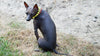 Xoloitzcuintli-dog-Romeo-Thy-fairest-fido-wearing-rhinestone-rows-red-yellow-green-dog-jewelry