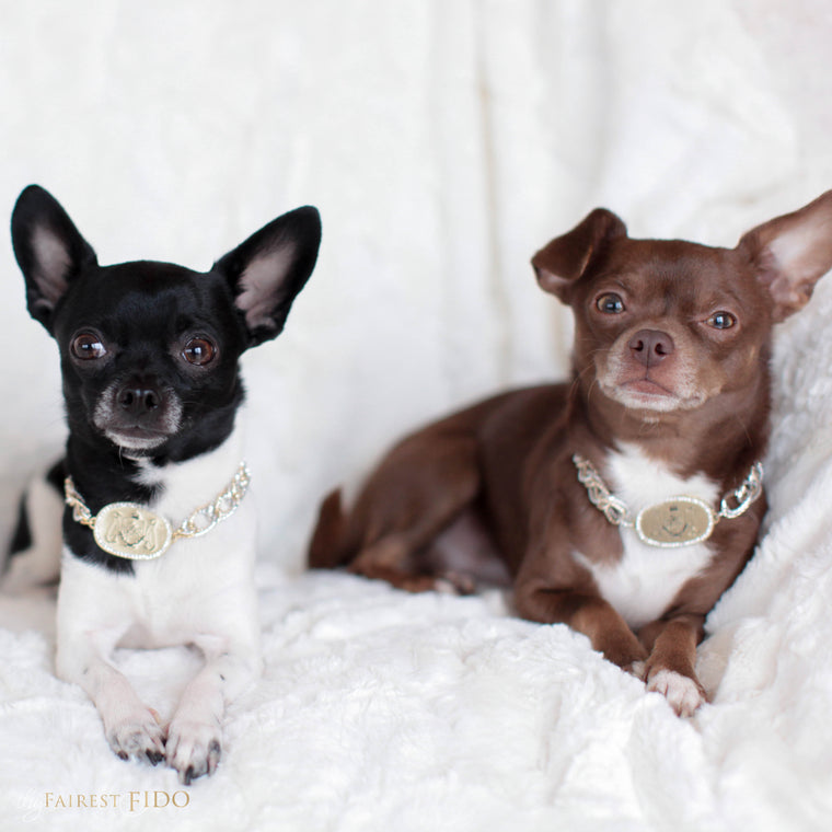 Hunky-and-louie-chihuahua-dogs-thy-fairest-fido-models-wearing-TFF-signature-chain-width-2-signature-dog-jewelry