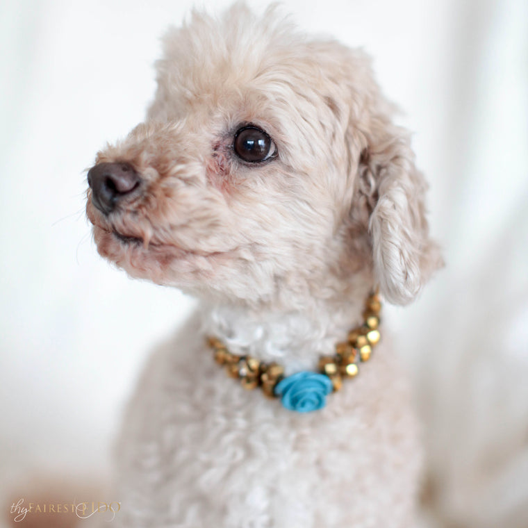 Maltipoo-dog-Ryder-thy-fairest-fido-model-wearing-majestic-metallic-gold-with-blue-flower-dog-jewelry