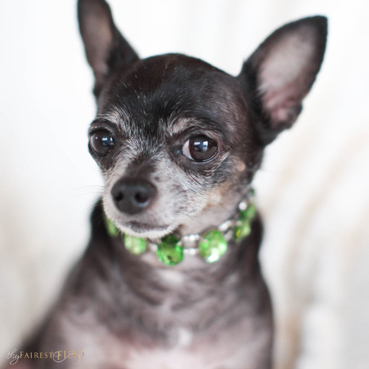 Bean-chihuahua-dog-thy-fairest-fido-model-wearing-eternal-gems-width-0-green-and-peridot