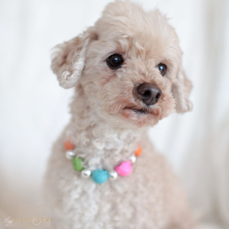 Maltipoo-dog-Ryder-thy-fairest-fido-model-wearing-sugar-skulls-multi-dog-jewelry