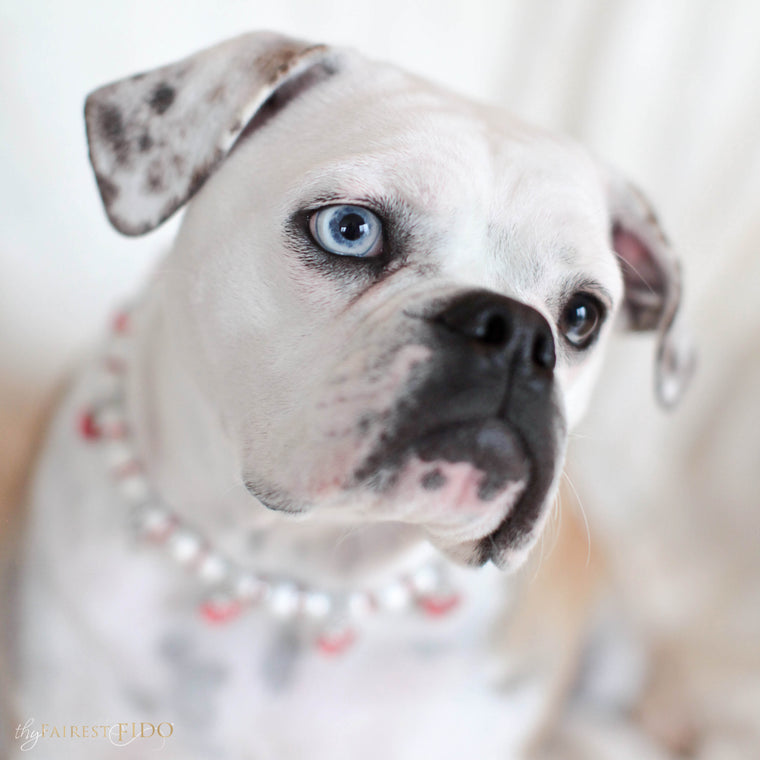 Bella-Bulldog-thy-fairest-fido-dog-jewelry-wearing-cascading-hearts-red-width-2/3