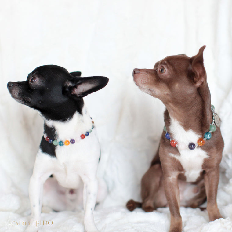 Hunky-and-louie-chihuahua-dogs-thy-fairest-fido-models-wearing-crystal-infusion-width-0-and-width-1-dog-jewelry