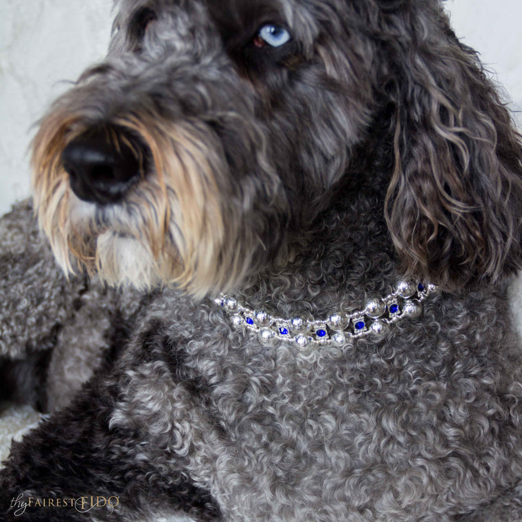 Hurly-labradoodle-dog-thy-fairest-fido-wearing-Regal-Radiance-width-3-blue