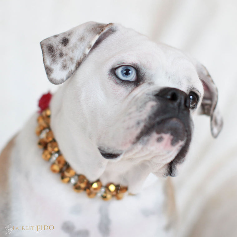 Bella-Bulldog-thy-fairest-fido-dog-jewelry-wearing-Swarovski-Majestic-Metallic-gold-with-red-flower-width-3