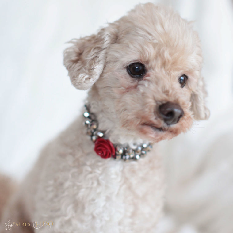 Maltipoo-dog-Ryder-thy-fairest-fido-model-wearing-majestic-metallic-silver-with-red-flower-dog-jewelry