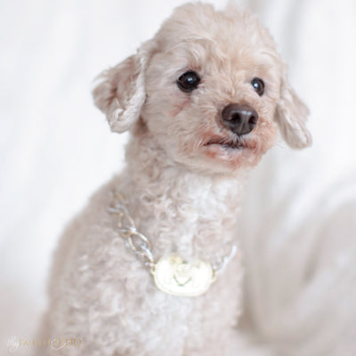 Thy_Fairest_Fido_Signature_Chain_Signature_light_gold_Thy_Fairest_Fido_rhinestone_logo_plate_with_aluminum_silver_and_gold_chain_size_1_on_Ryder_maltipoo_dog