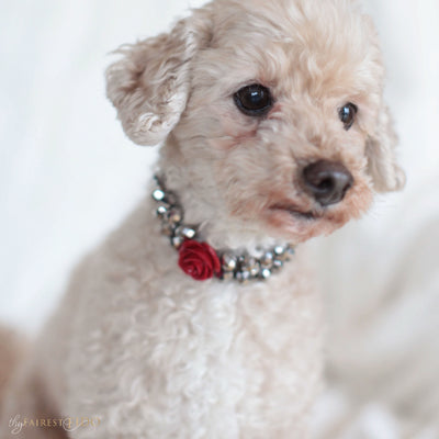 Majestic Metallic -Silver, crystals woven with rhinestones and red flower size 1 on Ryder a Maltipoo