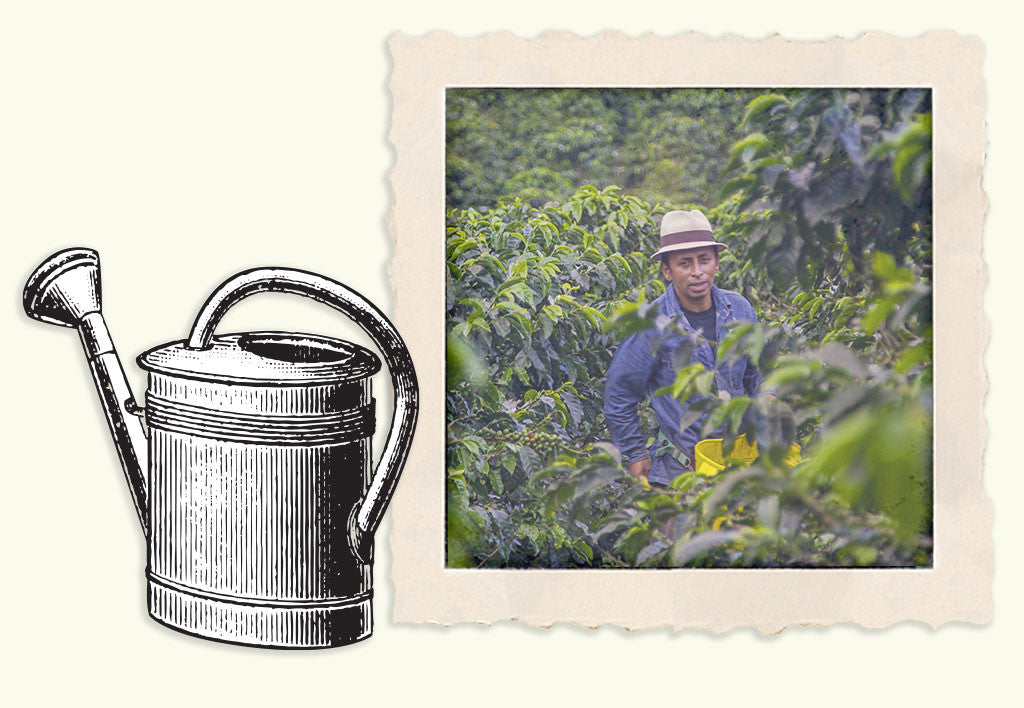 an illustration of a watering can next to a farmer standing in heavy foliage of coffee plants