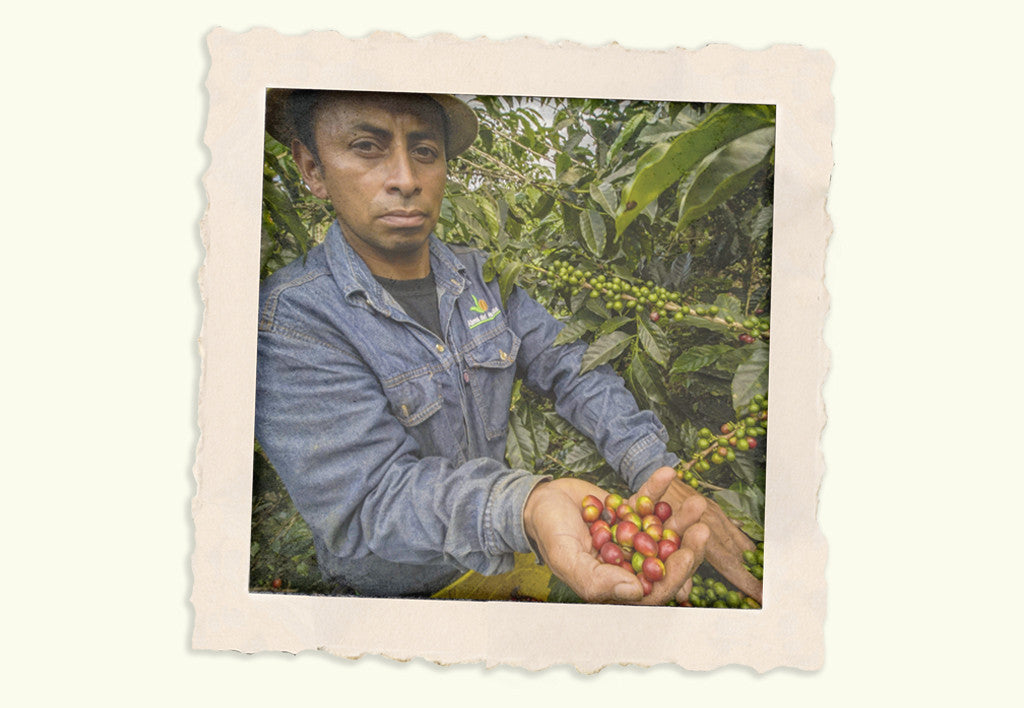 A farmer holding a handful of picked coffee fruits in various states of ripeness