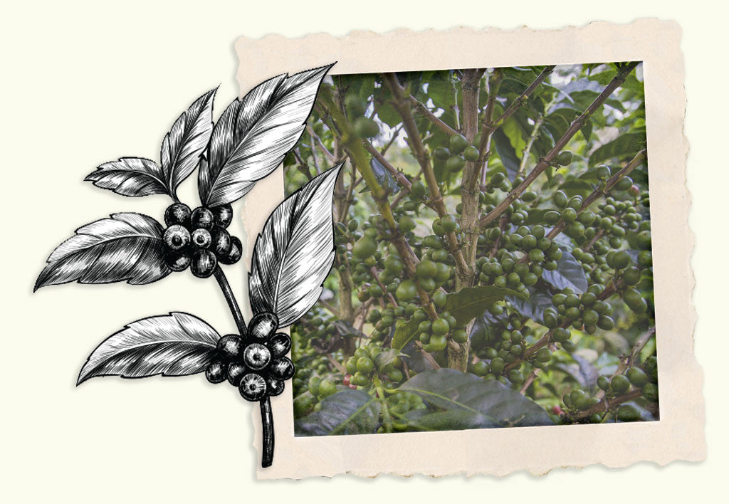 An illustration of a Coffee plant clipping next to a photograph of a thick coffee bush