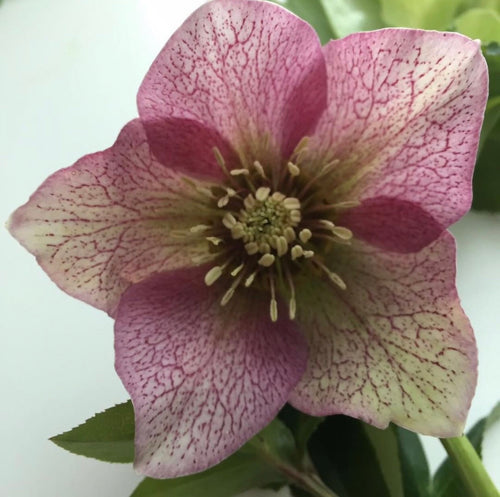 Hellebore - Fifty Shades of Gradient™